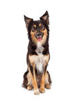 Herder en Grens Collie Mixed Breed Dog Royalty-vrije Stock Afbeeldingen