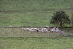 Herder en Schapen Royalty-vrije Stock Fotografie