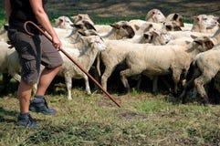 Herder en troep van schapen Royalty-vrije Stock Foto's