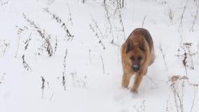 Herder Enjoying Winter Playing in de Sneeuw stock video