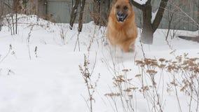 Herder Enjoying Winter Playing in de Sneeuw stock footage