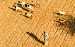 Herder with goats at the archaeological site of Bagan on Myanmar Stock Photos