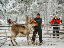Herder handling with racing reindeer Royalty Free Stock Images