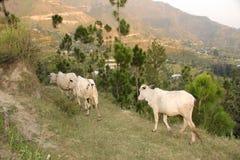 Herder met koeien in de berg van Himalayagebergte stock afbeeldingen