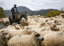 Herder met oplichter het berijden paard en hoedende groep schapen royalty-vrije stock foto's