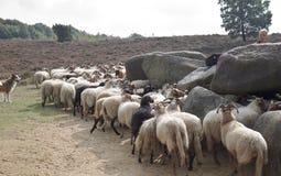 Herder met schapen dichtbij dolmen van havelte, Holland royalty-vrije stock afbeeldingen