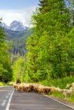 Herder met troep van schapen in Tatra-bergen Stock Foto's