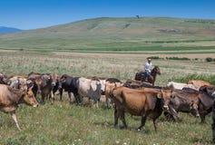 Herder op een paard met zijn koeien Royalty-vrije Stock Afbeeldingen