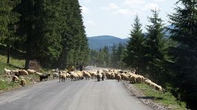 Sheeps on Prislop pass in Romania Stock Image