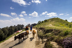 Herder with their cows strolling along Hatu Peak with Kali Mata temple at the background in Narkanda town, Himachal Pradesh. stock photo