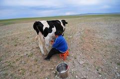 Herderen får mjölkar från mejerinötkreatur Arkivfoton