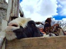 Herders die geiten over Zojila-pas vervoeren royalty-vrije stock foto's