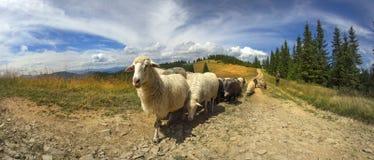 Herders en schapen de Karpaten Royalty-vrije Stock Foto