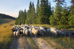Herders en schapen de Karpaten Stock Afbeeldingen