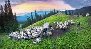 Herders en schapen de Karpaten Stock Foto's