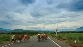 Herders moving cows onto road stock video footage