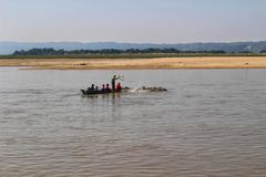 Swimming cows are herded across the Irrawaddy river in Myanmar. Herders in a small boat goad some cattle across the wide river stock images
