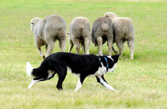 Herdershond Royalty-vrije Stock Fotografie