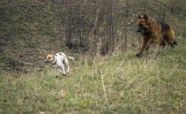 Herdershond die de ontwijkende fox-terrier achtervolgen Stock Foto's