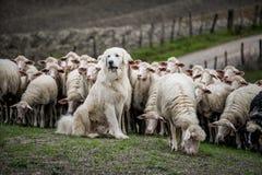 Herdershond die de schapentroep bewaken stock afbeelding
