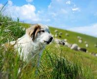 Herdershond en schapen royalty-vrije stock afbeelding