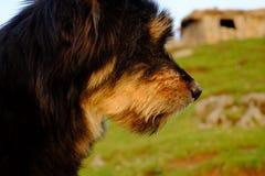 Herdershond, gecoupeerde herdershond in profiel royalty-vrije stock fotografie