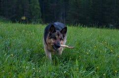 Herdershond het spelen met houten stok in het gras Royalty-vrije Stock Foto's