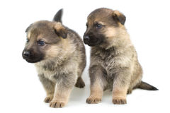 Herdershonden puppys die op witte achtergrond worden geïsoleerdc stock foto's