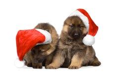 Herdershonden puppys die over witte achtergrond worden geïsoleerdd Royalty-vrije Stock Fotografie