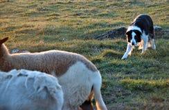 Free Herding 17 Stock Photos - 41653333