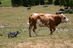 Herding. Australian shepherd cattle-herding royalty free stock images