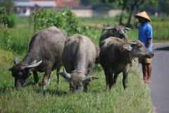 Herding buffalo Royalty Free Stock Photos
