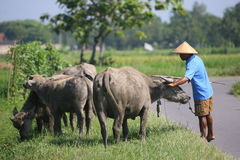 Herding buffalo Royalty Free Stock Photography