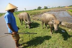 Herding buffalo Stock Photo