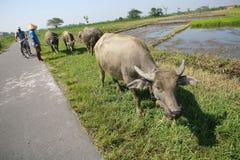Herding buffalo Stock Photos