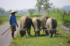 Herding buffalo Stock Images