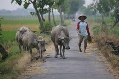Herding buffalo Royalty Free Stock Image