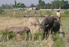 Herding buffalo Stock Image