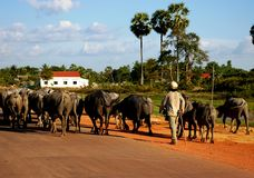 Herding buffaloes in Cambodia Stock Photos