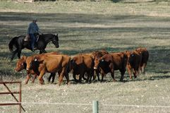 Herding cattle Stock Images