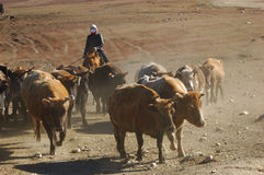 Herding cattle. Shepherd cattle-herding in Xinjiang province, northern-west of China stock photography