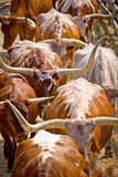 Herding Cattle Texas Longhorns Cows. Herding cattle into their stalls. Red, white and brown cattle royalty free stock images