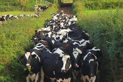 Herding cows from field to barn. Herd of British Friesians cows between hedges in Axe Valley, Devon. Herding cows from field to barn royalty free stock photo