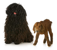 Herding dog. Puli and south african boer goat on white background royalty free stock images