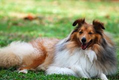 Herding Dog. A photo taken on a rough collie herding dog resting at a park Royalty Free Stock Photos