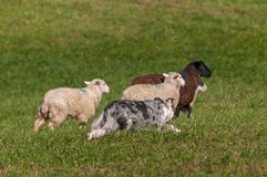 Herding Dog Behind Group of Sheep Ovis aries Royalty Free Stock Image