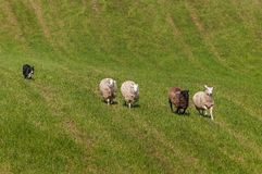 Herding Dog Behind Line of Sheep Ovis aries Stock Images