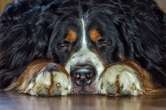 The herding dog breed Berner Sennenhund with black shaggy hair with white spots on the neck Stock Photos
