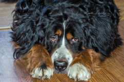 The herding dog breed Berner Sennenhund with black shaggy hair with white spots on the neck Stock Photography