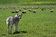 Herding dog guarding  large flock of sheep Royalty Free Stock Image